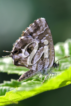 wild brown  butterfly  on a green leaf in the bush