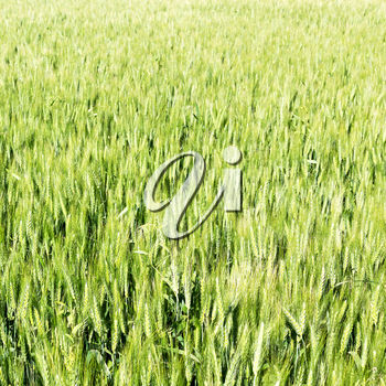 blur in iran cultivated farm grass and healty green  natural wheat