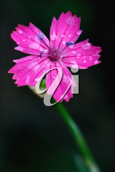 macro close of  a violet pink geranium dissectum cariofillacee in green background and drop