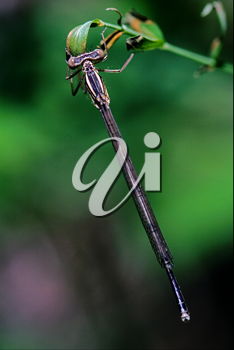 wild blue dragonfly coenagrion puella on a piece of branch in the bush