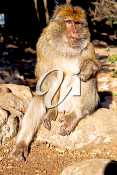 old monkey in africa morocco and natural background fauna close up