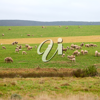 in south africa green yellow  field and sheep eating grass