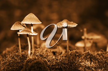 Group forest inedible mushrooms of late autumn. Sepia