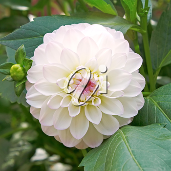 White with pink tinge dahlia on flowerbed close up