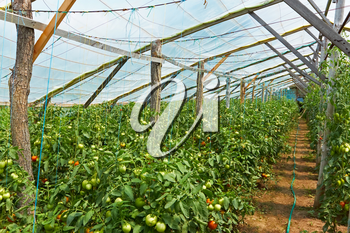 Wooden film greenhouses with tomatoes from the inside