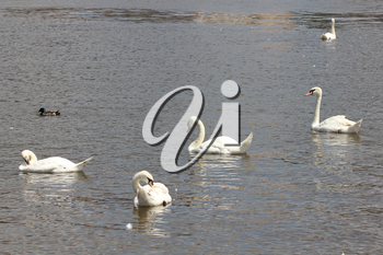 Duck and white swans flock on pond 8434