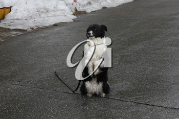 Black and white dog sitting on its hind legs on the asphalt 30348