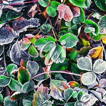 Covered with frost in early winter strawberry bushes