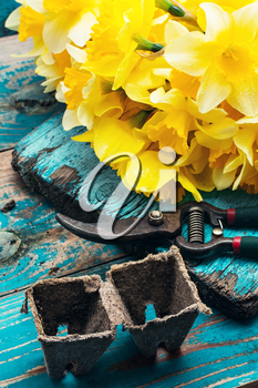 Charming bunch of daffodils and garden tools on wooden background