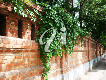 stone wall of the old brick, decorated with green leaves of ivy
