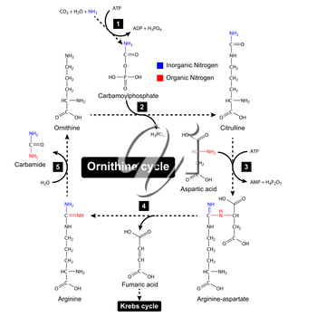 Ornithine cycle with color focus of nitrogen sources, urea cycle, metabolic formation, 2d illustration, vector isolated on white background, eps 8