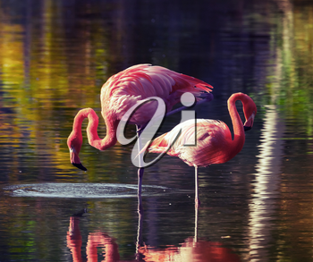 Two pink flamingos standing in the water with reflections. Vintage stylized photo, with tonal correction filter like instagram
