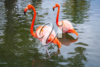 Two pink flamingos walking in the shallow water