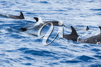 Flock of Common Dolphins swimming in Atlantic Ocean near Madeira Island, Portugal