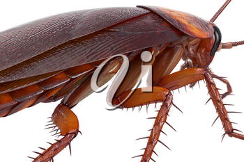 Cockroach bug american creature urban animal, close view. 3D rendering