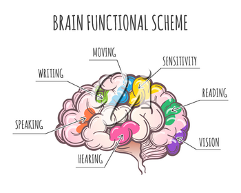 Functional Areas of the Human Brain. Areas assignment in Lateral view of cerebrum. Vector illustration