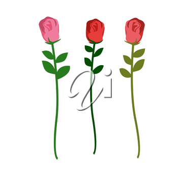 Set of three roses of different colors on a white background. Vector illustration of flowers