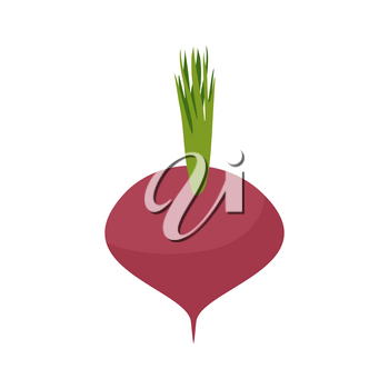 Beetroot isolated. Maroon vegetables on white background. Vegetarian food