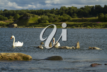 Swans with chicks swimming in the Baltic Sea. Summer