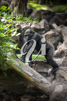 Gorilla goes through the jungle and rocks
