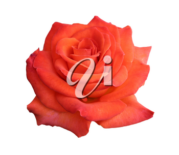 gorgeous red rose isolated on white background