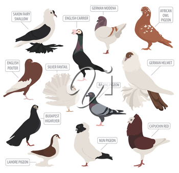 Poultry farming. Pigeon breeds icon set. Flat design. Vector illustration