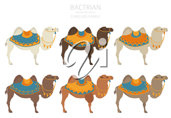 Camelids family collection. Bactrian camel infographic design. Vector illustration