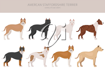 American staffordshire terrier dogs set. Color varieties, different poses. Dogs infographic collection. Vector illustration