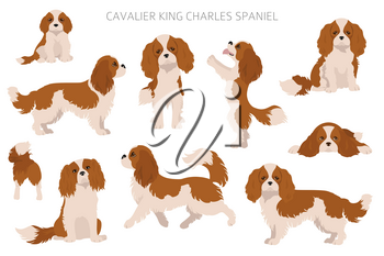Cavalier King Charles spaniel clipart. Different poses, coat colors set.  Vector illustration