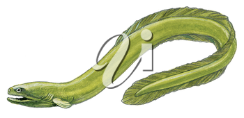 Royalty Free Clipart Image of an Eel