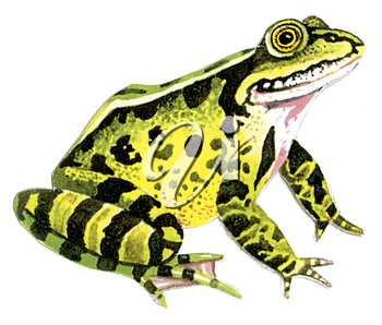 Royalty Free Clipart Image of a Pond Frog