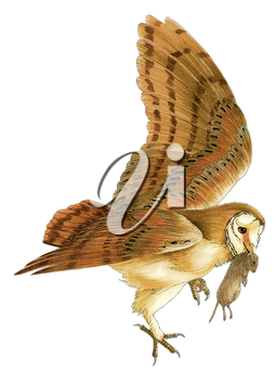 Royalty Free Clipart Image of a Tawny Owl Catching his Mouse Dinner