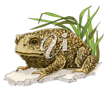 Royalty Free Clipart Image of a Toad