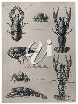 Royalty Free Clipart Image of a Crayfish