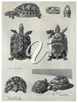 Royalty Free Clipart Image of a Tortoise