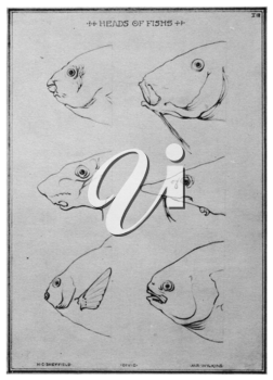 Royalty Free Clipart Image of a Fish heads