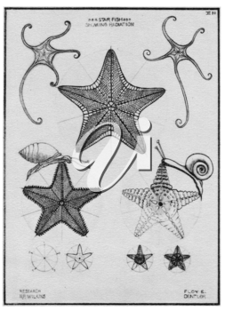 Royalty Free Clipart Image of Starfish