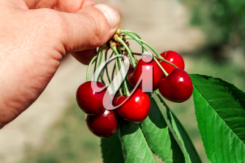 Branch of ripe red cherries in the hand