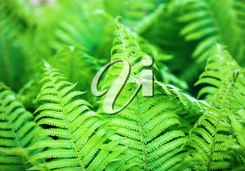 Bright fresh green fern leaves. Shallow depth of field. Selective focus.