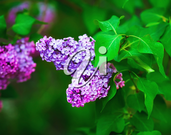 Blossoming lilac flowers. Spring flowering. Shallow depth of field. Selective focus.
