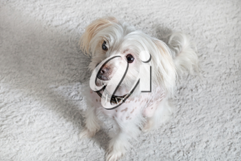 Chinese crested dog female sitting on light gray fluffy carpet. Selective focus.