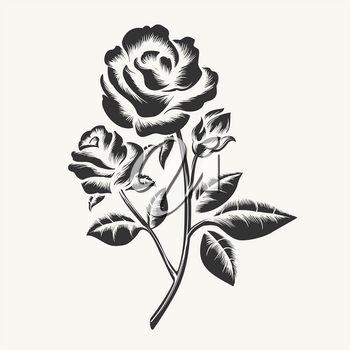 Rose etching. Vector black hand drawn roses engraving isolated on white background