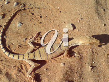 Monitor lizard on sand. The Animal deserts.
