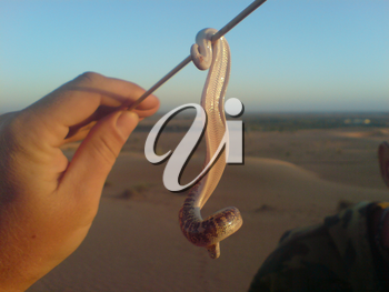 Snake on a stick. Nonpoisonous snake, inhabitant of the desert.