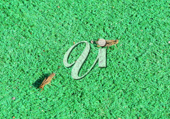 Two grasshopper on artificial grass. Orthoptera insects from the order of locusts.