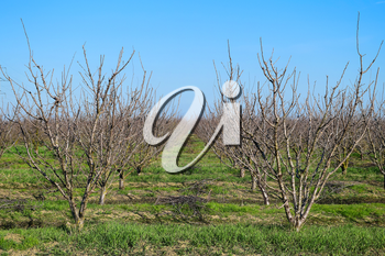 Young plum, cherry plum orchard. Growing and Caring for orchard of plum, cherry trees.