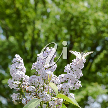Swallowtail butterfly. Butterfly white sailboat on the flowers of lilac. Insect pollinators.