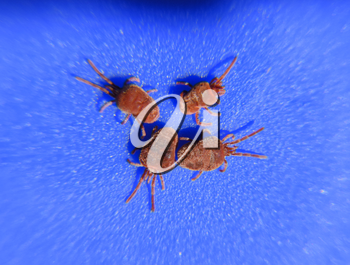 Close up macro Red velvet mite or Trombidiidae. Arthropod mites on a blue background.