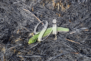 An ordinary quick green lizard. Lizard on the ground amidst ash and ash after a fire. Sand lizard, lacertid.