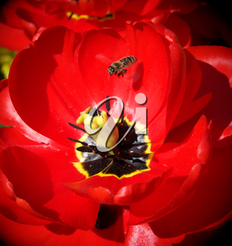 Bee and big red tulip. Nature scene.